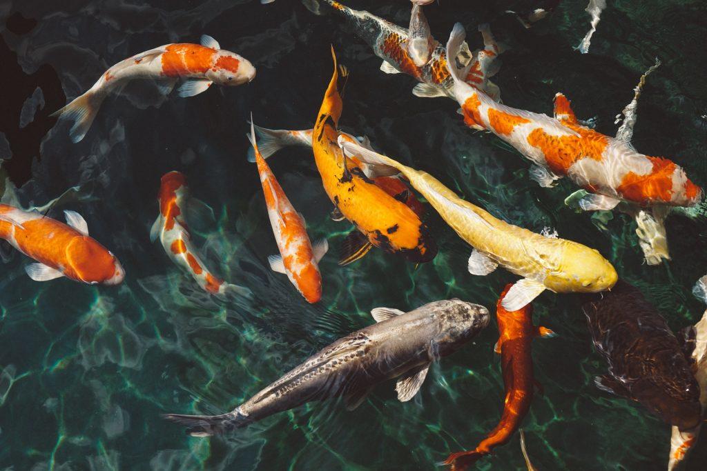 Koi Fish in Clean Water